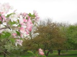 flowering trees  & crab apple blossums