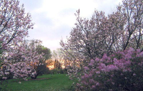 magnolias at sunset